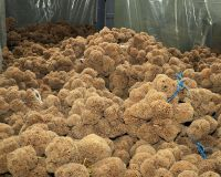 export natural sea sponge