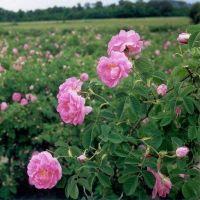 Dried Rosebuds Dades