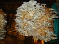 Oyster Mushrooms ( Dried)