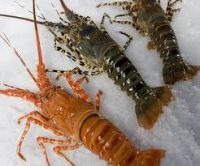 Frozen Lobster American lobster, Rock lobster and Spiny lobster,