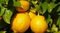 Cheap Fresh lemons, Mandarin Orange Citrus Fruits from South Africa
