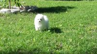 Beautiful Bear Face Micro Teacup Pom Available! Healthy Home raised Pomeranian pups available Text(302)400-5220