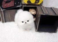 Charming.CUTE  Teacup Pomeranian Puppies for adoption-