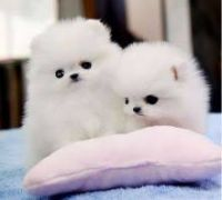 Charming.CUTE  Teacup Pomeranian Puppies for adoption-,text 302-400-5220