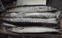 FROZEN W/R BARRACUDA FISH, Mackerel frozen fish, Frozen Barracuda Fish