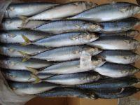 Sea Frozen Pacific Mackerel Fish for Sale