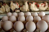 CHEAP Fresh Chicken Eggs and Chicken Products for Sale