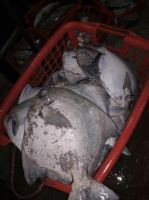 Fresh Chinese Pomfret Hook Line Caught AA+