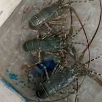 Live & Fresh Lobsters