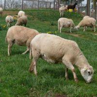 Livestock (Cow,Bull,Cattle,Sheep,Goat Etc)