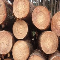Grade A&B Round White Pine Logs