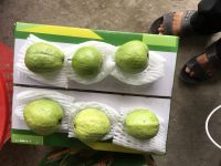 FRESH GUAVA HIGHEST QUALITY LOW PRICE