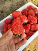 QHXN IQF Whole Strawberry- Frozen Strawberry-Grade A1