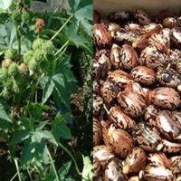 Castor Seeds  Chick Peas