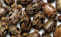 Castor Seeds, Chick Peas, Coffee bean, Pine Nuts, Almond Nuts