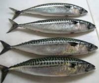 FROZEN SPANISH MACKEREL FISH WHOLE ROUND