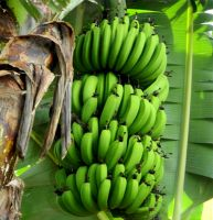 Fresh Banana from Viet Nam