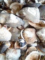 Dry Oyster Shell Extract
