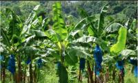 Banana Bags & Rolls