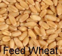 Animal Feed - Wheat In Bulk