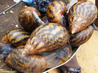 Fresh African Giant Snails/Processed ,Frozen,Dried & Alive Snails