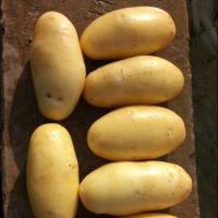 New Harvest Fresh Holland Potato/Potatoes with Low Prices