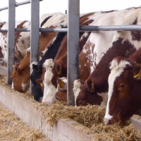 Quality Live Dairy Cows : Pregnant Holstein Heifers , Simmental Dairy Cattle , Angus Bulls