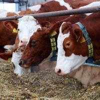 Live Friesian Holstein Heifers Pregnant Cow