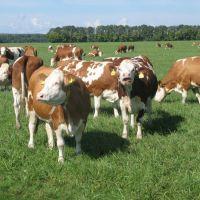 Alive Cattle/ Live Pregnant Holstein Heifers/ Live Simmental Bulls