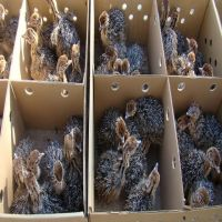 Sales!! Healthy Ostrich Chicks and Fertile Eggs