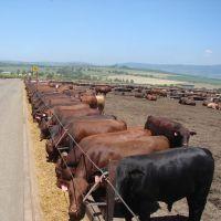 Livestock Fattening Beef Bulls/Hereford /Charolais /Limousin /Belgian Blue