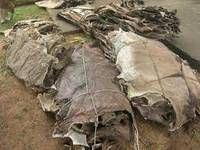Dry and Wet Salted Donkey Hide / Horse Hides / Wet Cow Hides