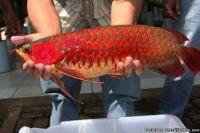 Super Cute Blood Red Arowana Fish On Sale