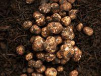 Fresh White Truffles, Black truffles