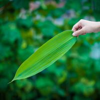 Pure natural indocalamus leaves /bamboo leaves