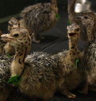 Ostrich Chicks. Live Ostrich birds, Ostrich Eggs, Fertile eggs, day old chicks, Chicken table eggs, Chicken fertile eggs, Frozen chicken