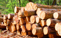 Large Wood logs like tali, Wengue, Pine and Zingana, teak, pine, radiata, wood chips, pellets, planks, firewood, mangrove, Doussie