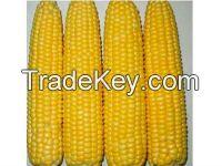 Non GMO WAXY CORN