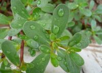 Portulaca Oleracea Extract