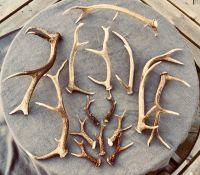 Scottish Red Deer Antlers Grade A+++