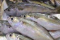 Mackerel fish, Bonito fish, Tuna fish, Tilapia fish, Frozen shrimps, Squids, Crabs