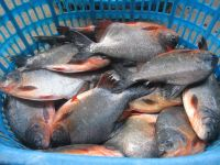 red pomfret fish