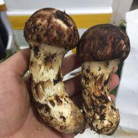 Detan Fresh Wild Matsutake Mushroom
