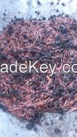 Earthworm (Cacing Tanah)