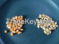 Hight Quality of Yellow & White Corn for sale
