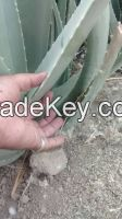 Organic Aloe Vera Leaves and Gel