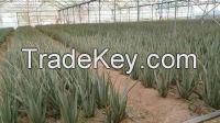 Organic Aloe Vera Leaves and Gel