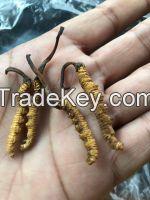 Cordyceps senensis