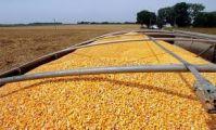 Grade A Premium Quality Natural Yellow Corn Maize for Bulk Supply