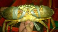 Live and Frozen Mud Crabs